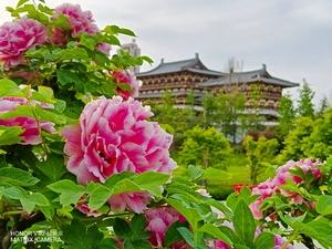 摄影   牡丹花开动京城,共赴一场国色天香的视觉盛宴!,爱摄影-荣耀俱乐部