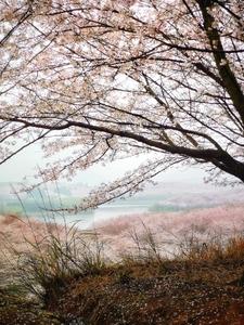 藏在深山里的诱惑!山深未必得春迟,处处山樱花压枝!,爱摄影-荣耀俱乐部